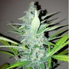 New York Diesel Feminized