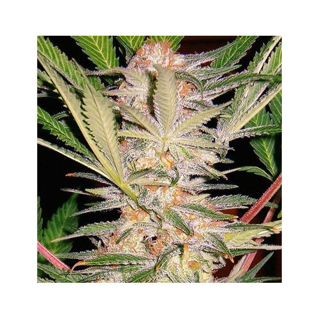 S.A.D. S1 Sweet Seeds