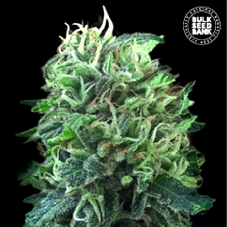 Green Scout Cookies - Bulk Seed Bank