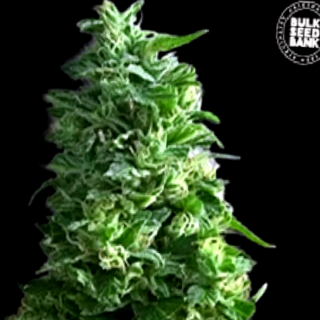 Lime Skunk - Bulk Seed Bank