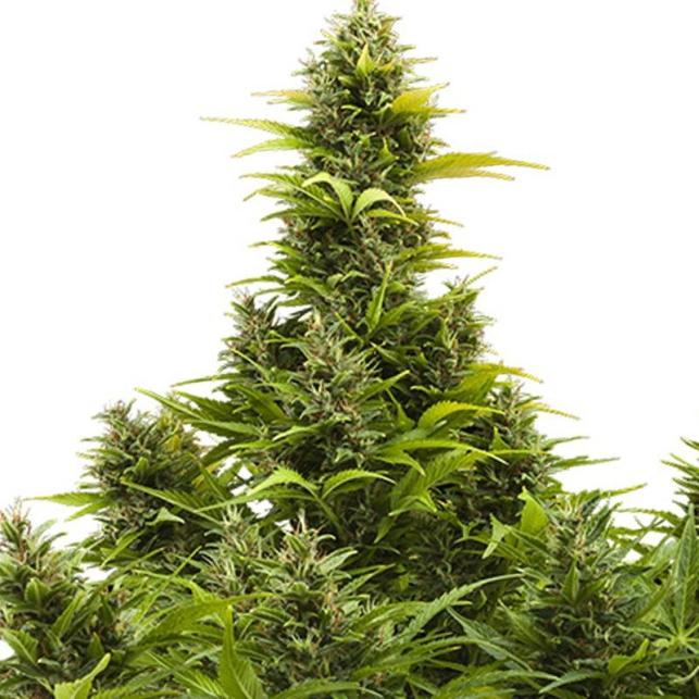 Medikit Auto de Buddha Seeds