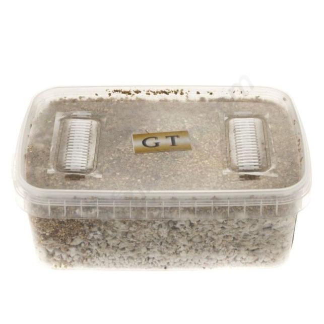 Kit de culture de champignons Golden Teacher