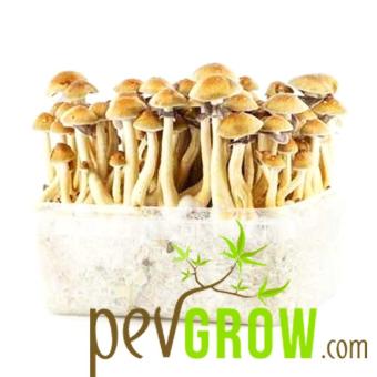 Thai mushroom growing kit
