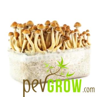 Pan American mushroom growing kit