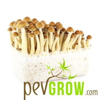 Golden Teacher mushroom growing kit