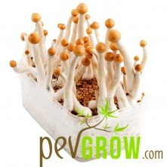 Mexican mushroom growing kit