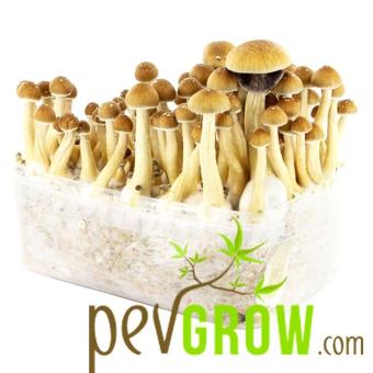 Kit de culture de champignons colombiens