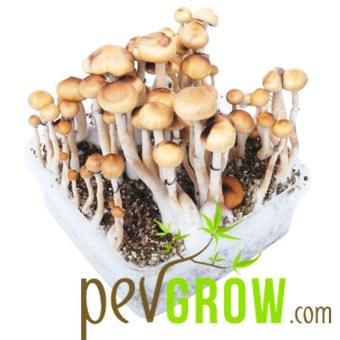 Kit de culture de champignons Mazatapec