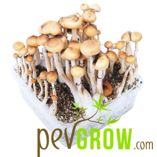 Culture de champignons - Kits de pain ou de champignons pour cultiver vos propres champignons hallucinogènes à la maison facilement et rapidement.