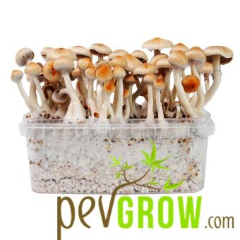 Ecuadorian mushroom kit