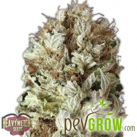 Extreme Impact Auto of Heavyweight Seeds, its birth is due to the genetic fusion between Mazar Auto Fast and Vast Auto