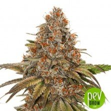 Blackberry Gum Auto