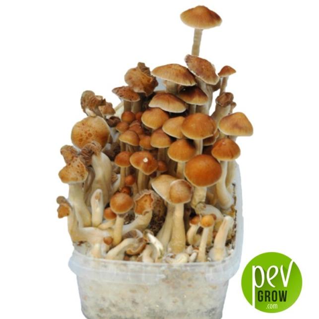 kit de culture de champignons McKennaii