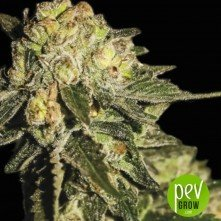 Auto Mandarina - Exclusive Seeds