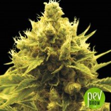 Cheese x Critical - Exclusive Seeds