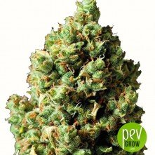 Auto Critical - Exclusive Seeds