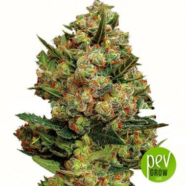 Critical Exclusive - Exclusive Seeds