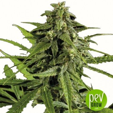 Auto Oxus - Exclusive Seeds