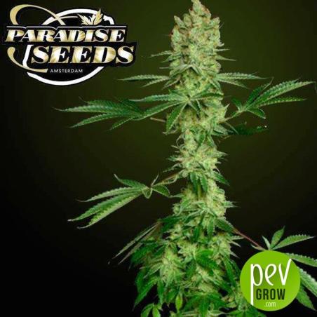 Ice Cream - Paradise Seeds