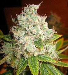Afgan Kush X Black Domina World of Seeds