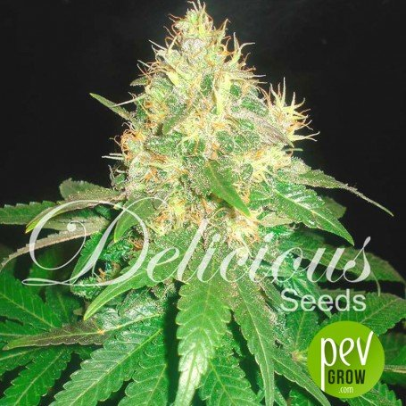 Northern Light Blue (Medicinal) Delicious Seeds