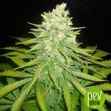 Mazar X Great White Shark (Medicinal)