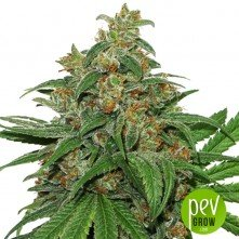 AK 420 Auto - Seed Stockers
