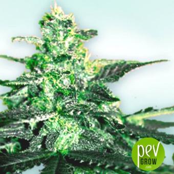 Vip CBD - Vip Seeds