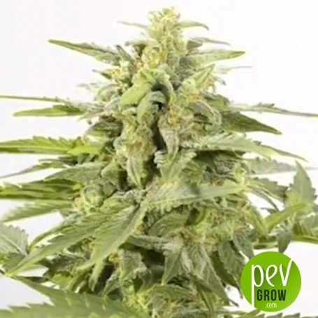 Industrial Plant Auto CBD - Spanish Seeds