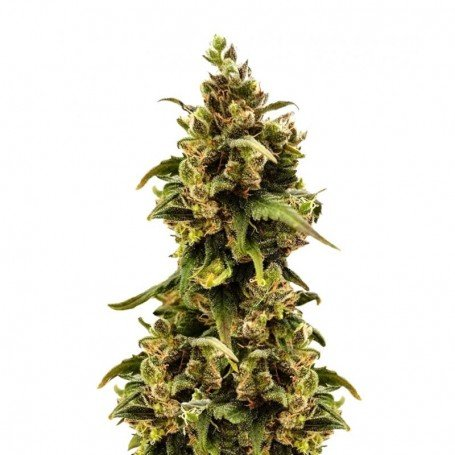 Critical Sour Female Seeds