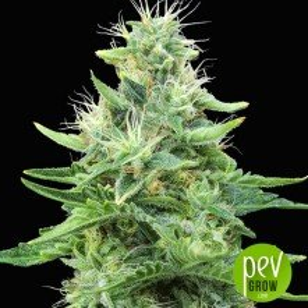 Gorilla Candy planta - Eva Seeds