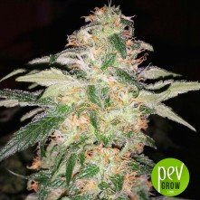 Kosher Dawg - DNA Genetics