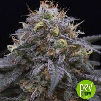Sugar Breath - Humboldt Seeds