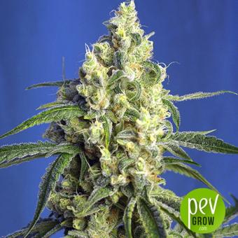 Green Poison CBD - Sweet Seeds