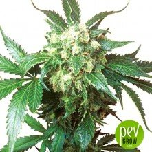 Black Domina CBD Feminizada - Worldpharma Seeds
