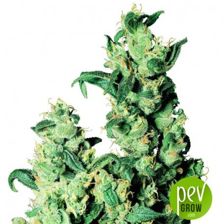 Jack Herer CBD Autofloreciente - Worldpharma Seeds