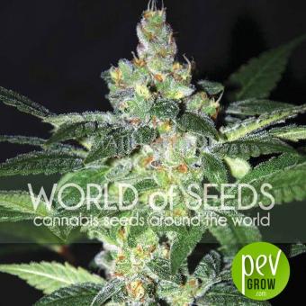Amnesia (Diamond Collection) - World of Seeds
