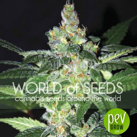 Amnesia (Diamond Collection) - World of Seeds