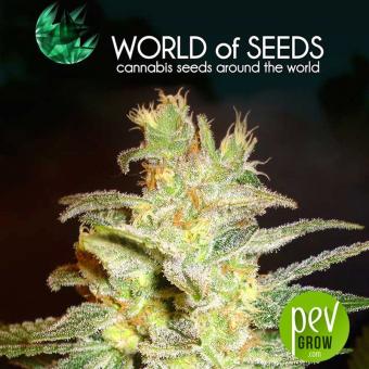 Northern Light X Big Bud (Medicinal) - World of Seeds