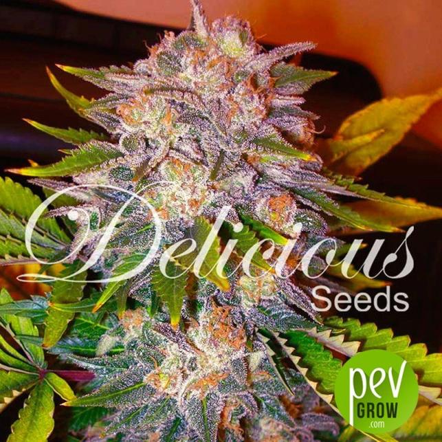 Caramelo - Delicious Seeds