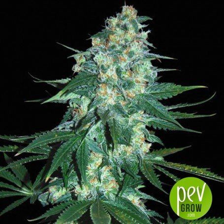 El Alquimista By Samsara Seeds Get An Strong High Available