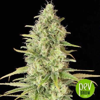 Critical Jack - Dinafem Seeds