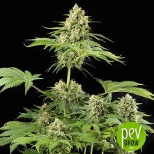 Moby Dick - Dinafem Seeds