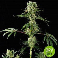 Moby Dick 2 - Dinafem Seeds