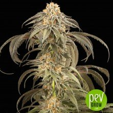 Purple Afghan Kush - Dinafem Seeds