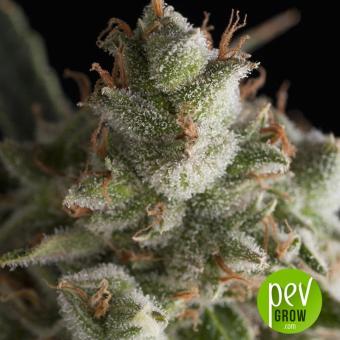 Fresh Candy - Pyramid Seeds