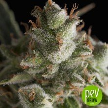 Fresh Candy - Pyramid Seeds