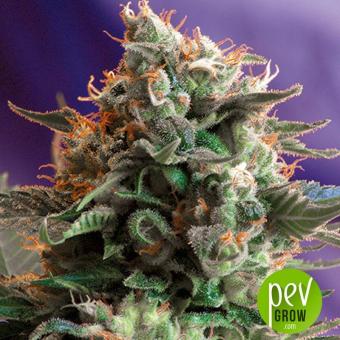 Jack 47 - Sweet Seeds