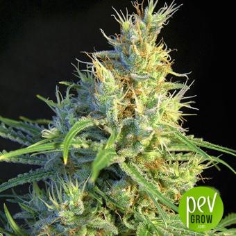 Psicodelicia - Sweet Seeds