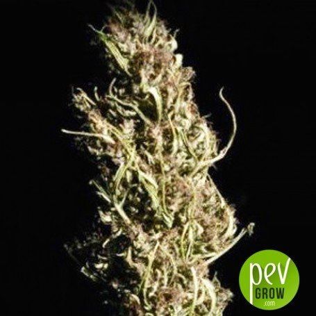 Doble Jack - Professional Seeds